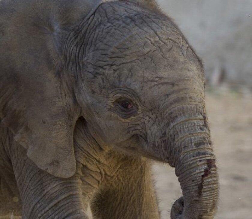 The still unnamed female calf was born early Tuesday morning at San Diego Zoo Safari Park.