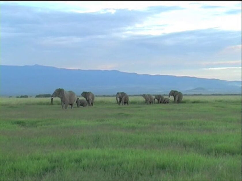 African elephants, human voices