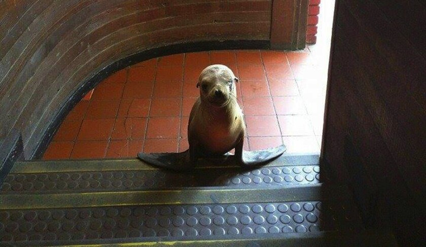 A stranded sea lion pup, dubbed Beach Ball, wandered into a bar of the same name in Newport Beach on May 12.