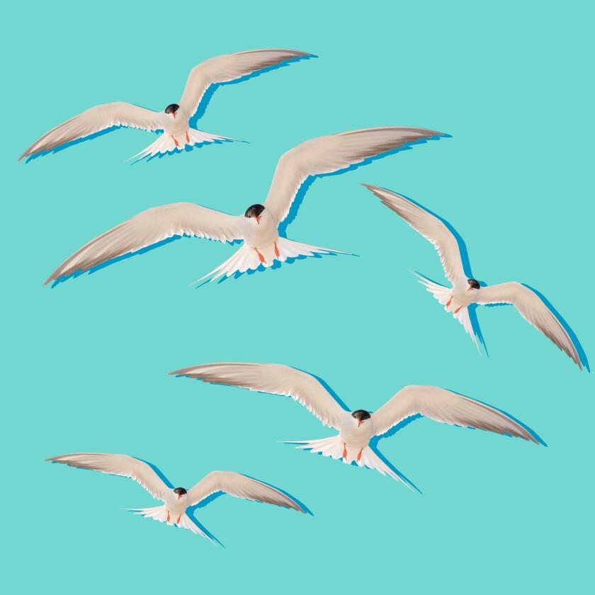 Illustration of a flock of terns