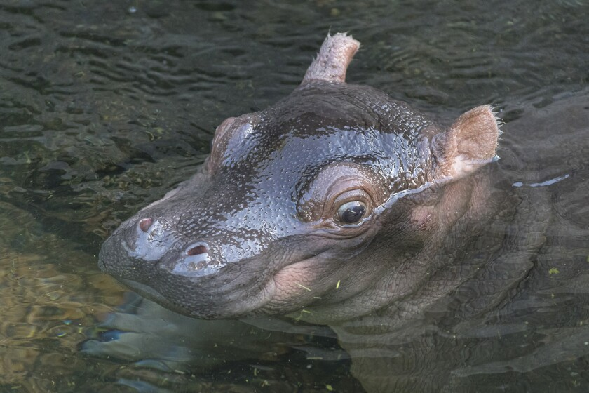 The female hippo calf, yet unnamed, was born on Saturday at 6:30 p.m. at the San Diego Zoo.
