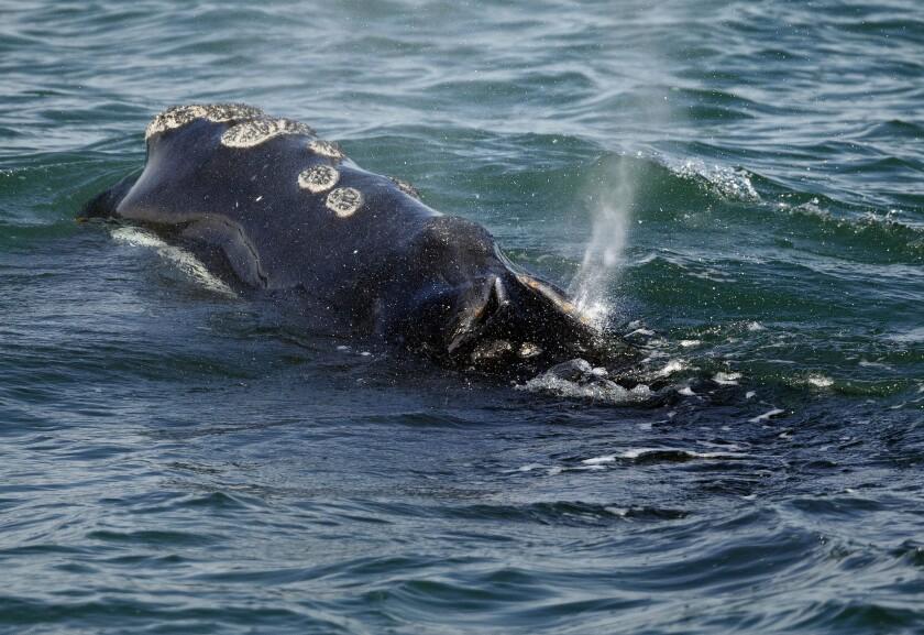 A whale surfaces