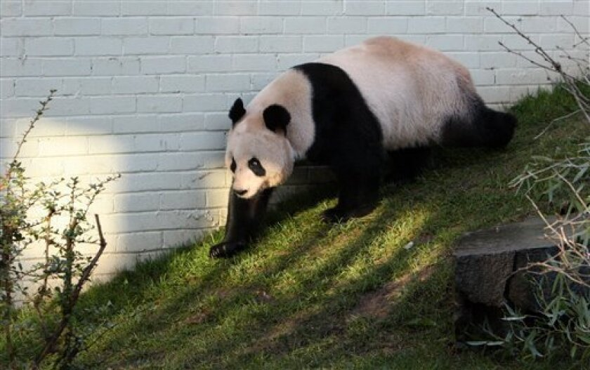 FILE - In this Dec. 12, 2011 file photo, a giant female panda named Tian Tian is seen exploring her enclosure at Edinburgh Zoo in Edinburgh, Scotland. Zoo officials on Tuesday, April 3, 2012 created a private love nest for Britain's only pair of giant pandas in hope the fertility-challenged animals