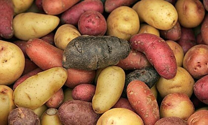 Mixed new potatoes at the farmers market.