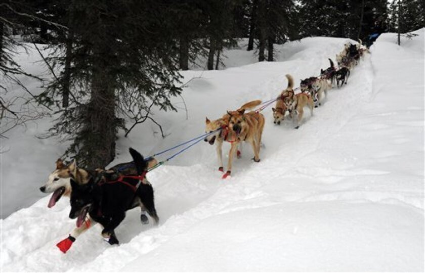Kristy Berington's team descends a steep section of trail outside the Finger Lake checkpoint in Alaska during the Iditarod Trail Sled Dog Race on Monday, March 4, 2013. (AP Photo/The Anchorage Daily News, Bill Roth)