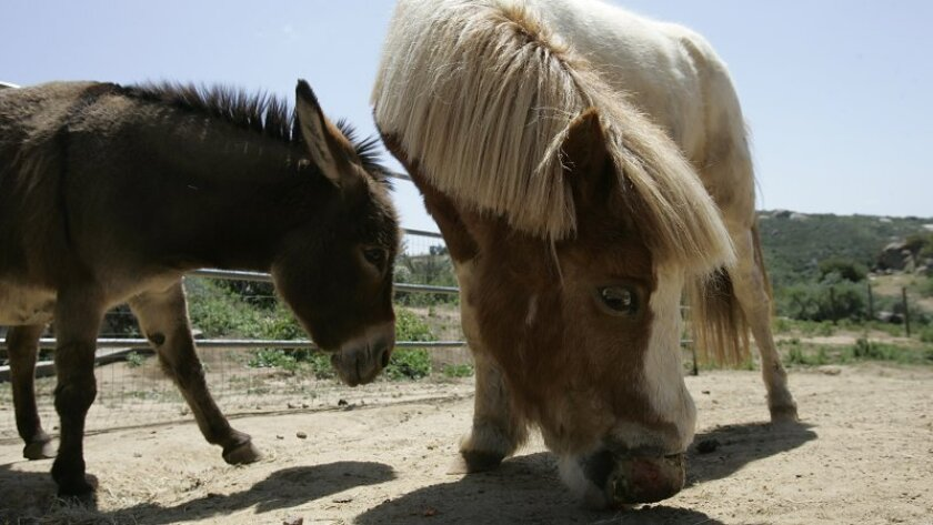 Spike (right), a 15-year-old mini horse,  was attacked by four pit bulls on Jan. 31, before his owners chased them off. he now has trouble lifting his head. The miniature donkey Sophie (left) is quite attached to her companion, so the owners are reluctant to put Spike down.
