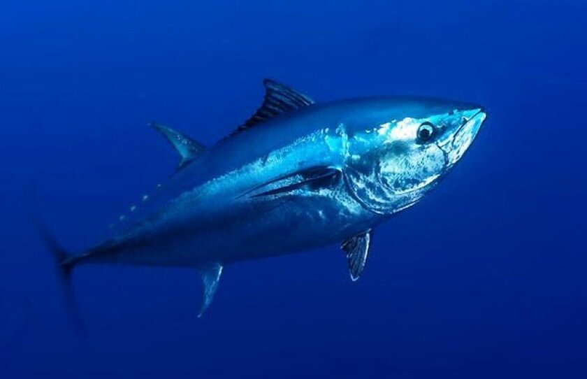 Pacific bluefin tuna fishing could be banned if the National Marine Fisheries Service declares the species endangered.