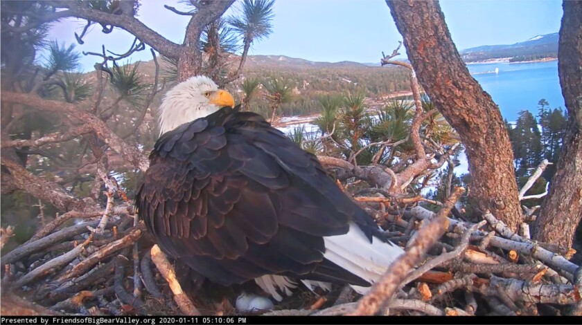This Saturday, Jan. 11, 2020 photo provided by Friends of Big Bear Valley shows Jackie, a bald eagle in Southern California, after laying a second egg in a nest watched by nature lovers via an online live feed, overlooking Big Bear Lake, Calif. The egg appeared Saturday evening. The first egg was laid last week. The mother nestled over the eggs Monday, Jan. 13, as a chilly wind blew through the San Bernardino National Forest. The chicks are expected to hatch in about a month. (Friends of Big Bear Valley via AP)