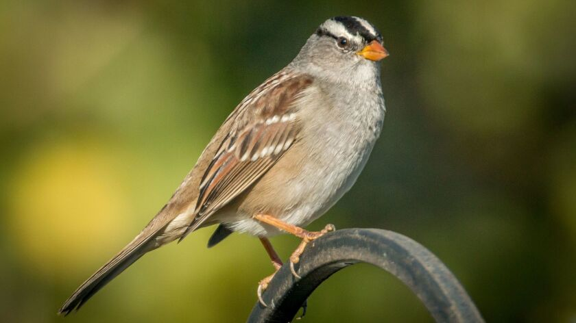 The white-crowned sparrow visits San Diego for the winter months.