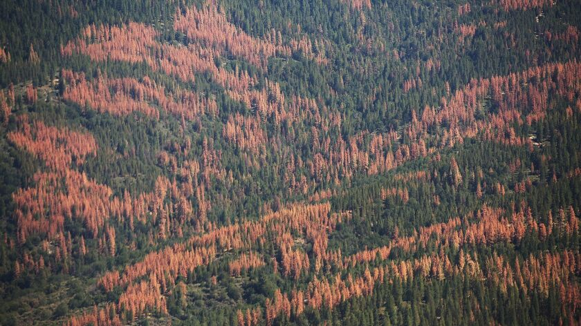 Large swaths of brown dead trees on the Western slopes of the Sierra Nevada Mountains to the east of the San Joaquin Valley on July 28, 2015.