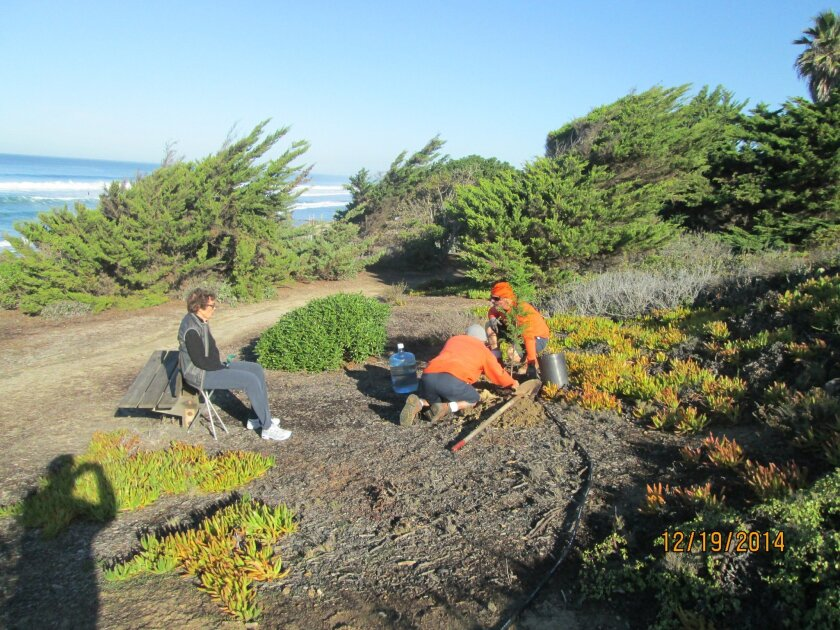 Del Mar horticulturist Pat Welsh oversees the planting of three Monterey cypress trees in Sea Cliff Park.
