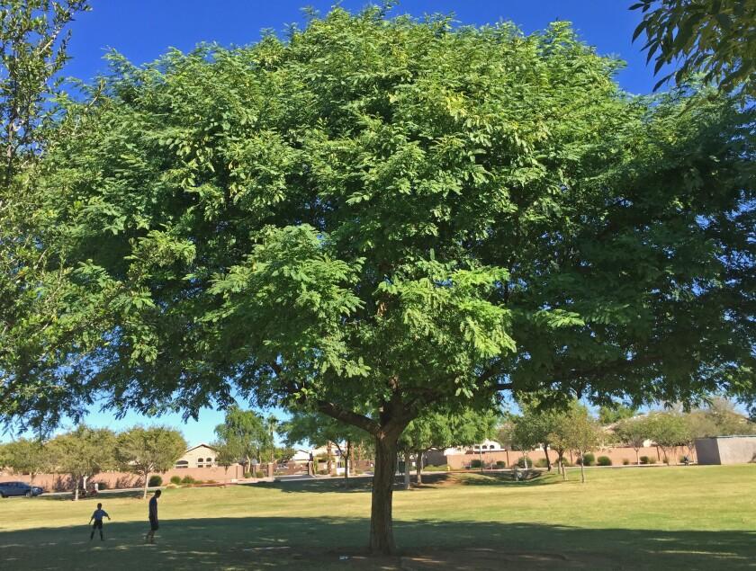 Tipu Tree, Fast Grower, Flowering Trees, In Landscape, Tipu