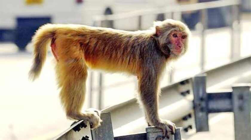 Work published online by the journal Nature, a US-led team said they had created cloned embryos from rhesus macaques using the same method that created Dolly the Sheep and other animals.