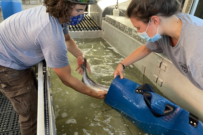 Technicians Kyle King, left, and Lara Breitkreutz trap a salmon at Lower Granite Dam for trucking past warm water to safety.