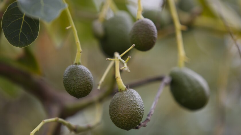 Avocados growing among a field full of avocado trees
