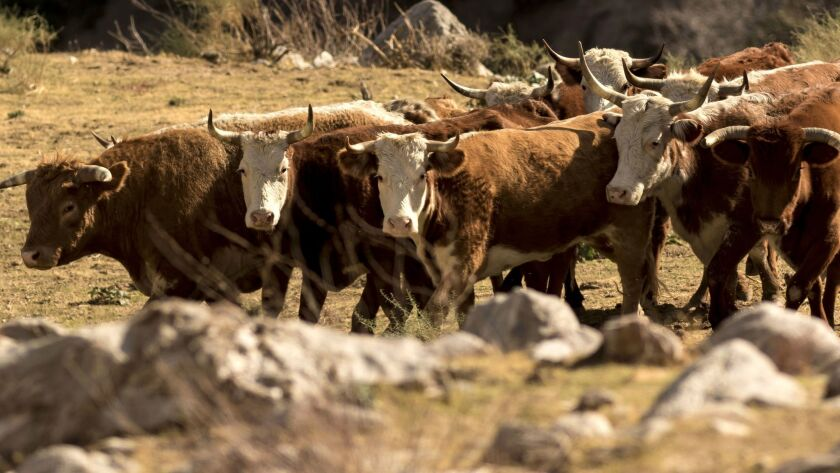 An estimated 150 unbranded feral bulls and cows are charging hikers and trampling sensitive habitat
