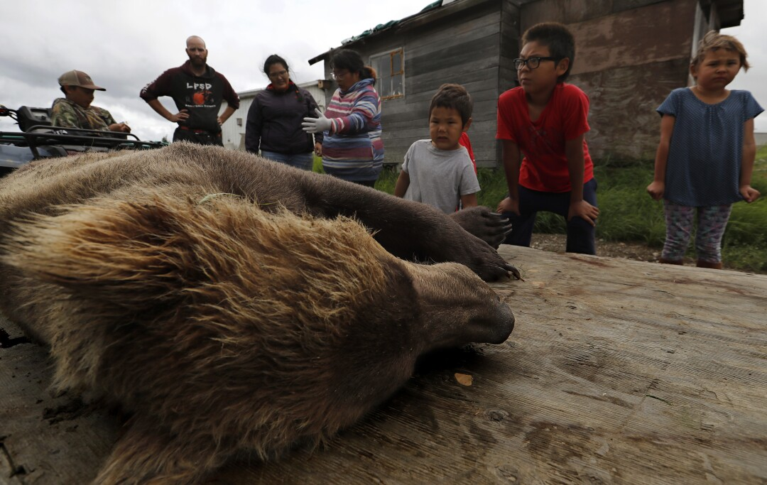Residents of Igiugig, Alaska, look at a bear shot to prevent attacks on villagers.
