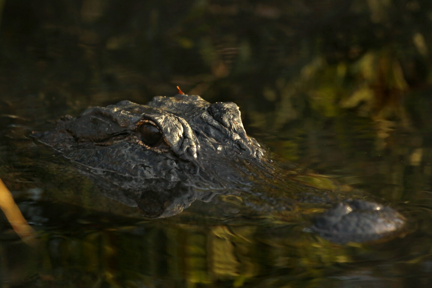 An American alligator in the Florida Everglades.