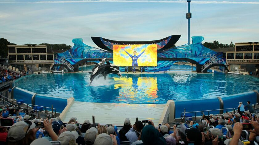 Killer whales perform during the final Shamu show, One Ocean, at Sea World San Diego on Jan. 8, 2017.