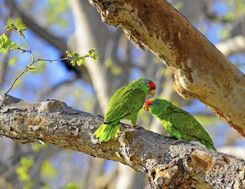 Audubon annual Christmas Bird Counts have marked the rising populations of non-native parrots in Southern California since the 1940s. Recent bird counts have shown parrot populations spreading as far as the foothills of Orange County.