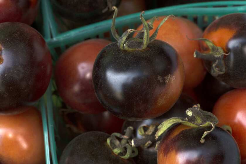 Indigo Rose tomatoes, in which the dark pigmentation derives from anthocyanins rather than the usual lycopene; grown by Mark Carpenter in Santa Paula.