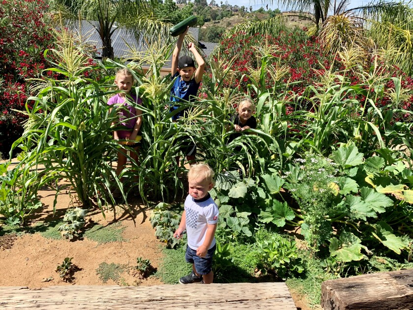 Moss siblings Lila, 7, Carson, 10 and Bailey, 5, celebrate their corn crop. Brother Dallas, 1.5, doesn't seem too pleased!
