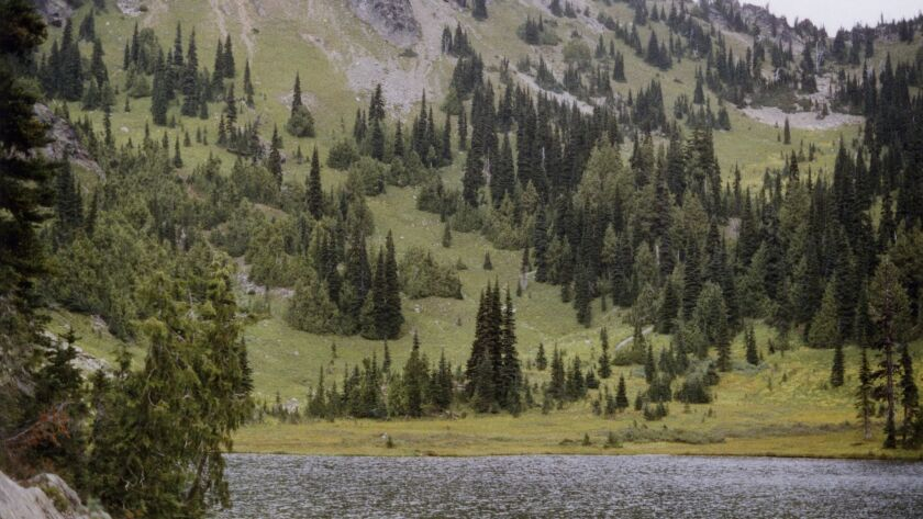 This undated photo provided by the U.S. Forest Service shows yellow-cedar trees growing along Sheep Lake east of the Cascade crest in Washington state.
