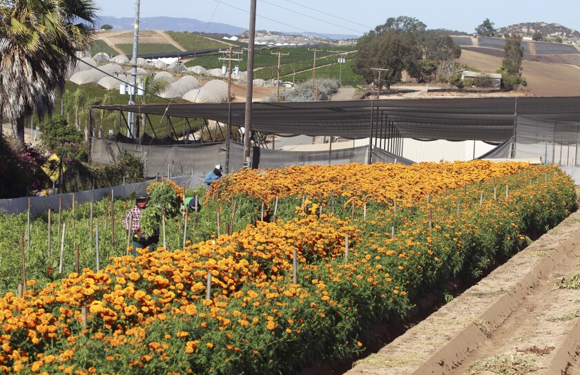 A worker carries a bundle of marigolds to a truck  at the Mellano & Company farm in Morro Hills in 2019.