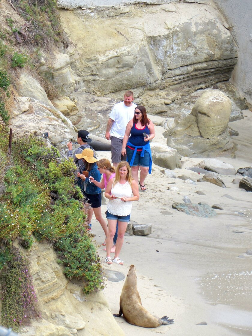 The increased sea lion presence at the la Jolla cove swimming hole is frustrating beach-users. SuSan DeMaggio