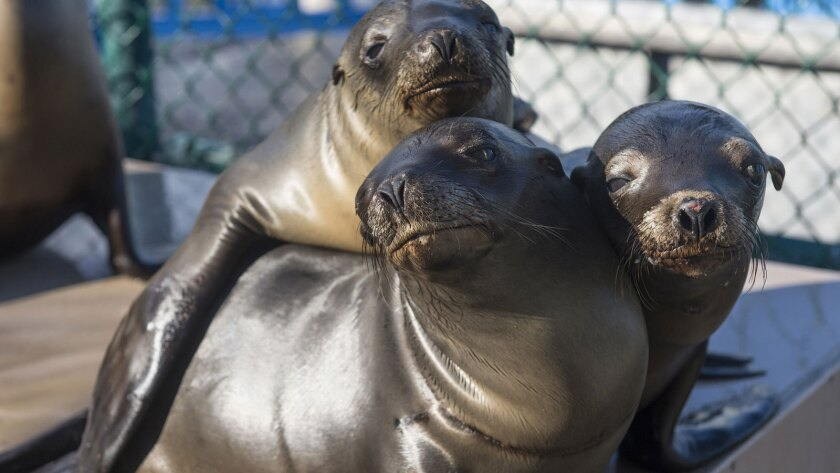 California sea lion pups recover at the Animal Rescue Center at San Diego's SeaWorld on Jan. 27. Marine mammal rehab facilities have seen high numbers of sea lions this month.