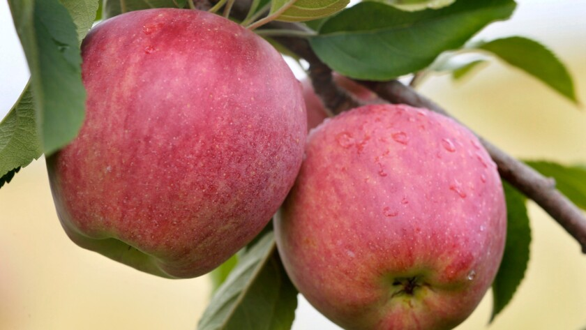 Are these Red Delicious apples ready to be picked? With a new app, you can find out by turning your smartphone into a spectrometer.