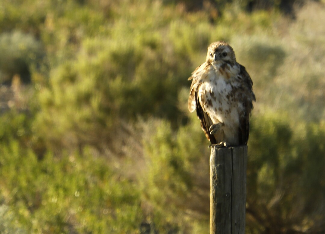 A red-tailed hawk waits on a fence post in Thacker Pass in northern Nevada.