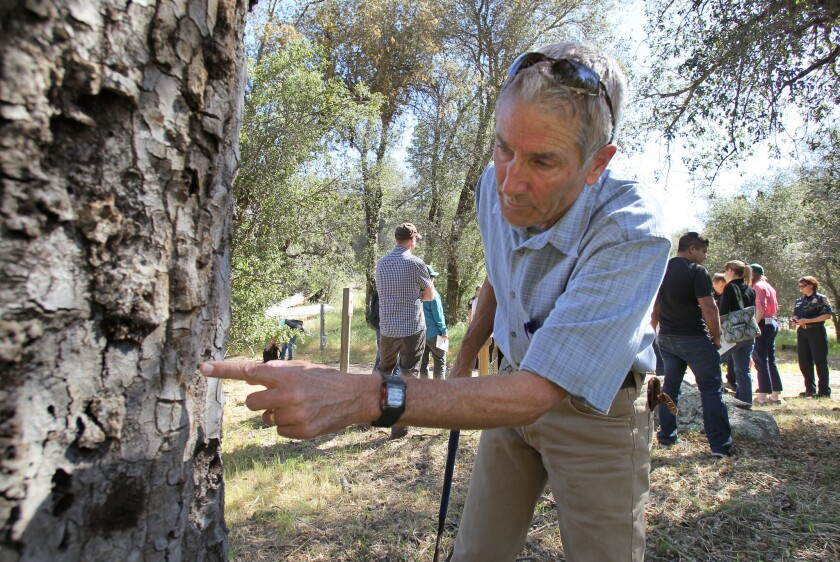 Kevin Turner, a UC Riverside scientist, finds evidence of the goldspotted oak borer beetle on a dead oak tree at Green Valley Campground in San Diego County's Cuyamaca Rancho State Park.