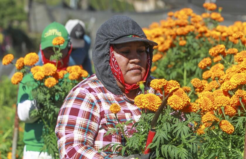 Marigold harvest