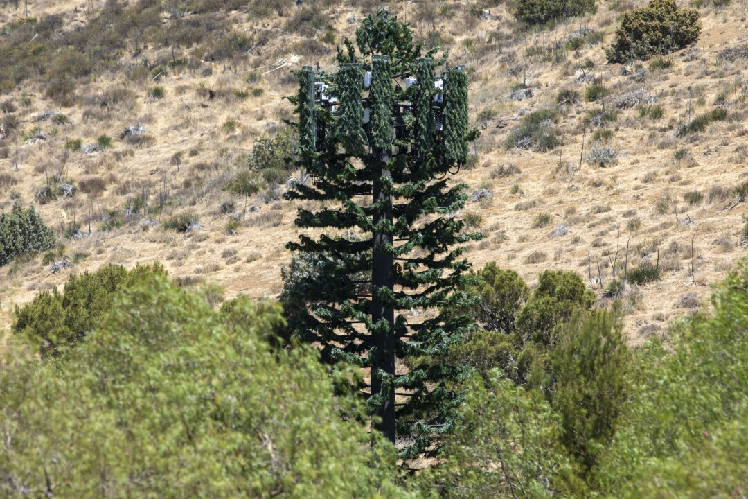 An image of a pine tree cell tower standing above its real brethren.