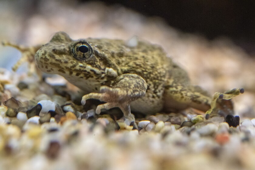 A southern mountain yellow-legged frog