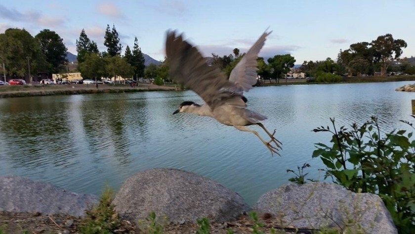 A black-crowned night heron takes off at Lindo Lake in Lakeside. The County Board of Supervisors has earmarked $7.5 million toward improvements at the park.