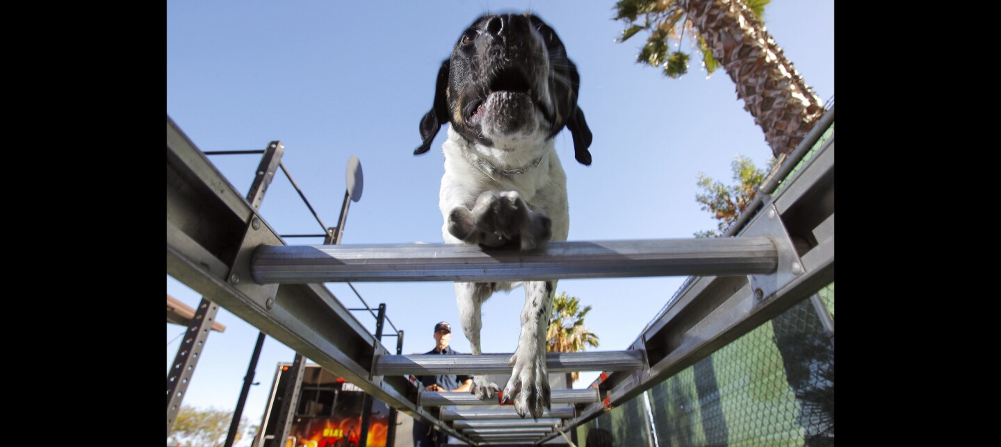 Santee Fire Department rescue dog Victor, whose job is to locate live victims in a disaster zone, trains by walking across a ladder as firefighter and paramedic Bill Walkenhorst watches at the Santee Fire Station.
