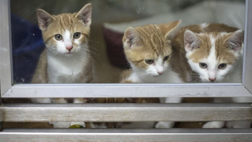 Kittens wait to be adopted at The McCracken County Humane Society on Thursday, July 12, 2018 in Padu