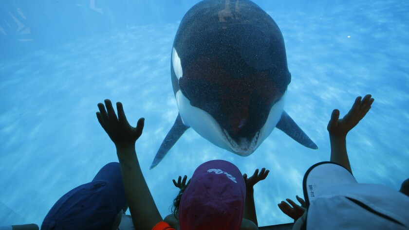 "Prompted by a trainer, Sea World San Diego visitors get a closeup view of an Orca whale through a window at the park. In the aftermath of the documentary ""Blackfish,"" critics are suggesting an end to keeping the animals captive for entertainment."