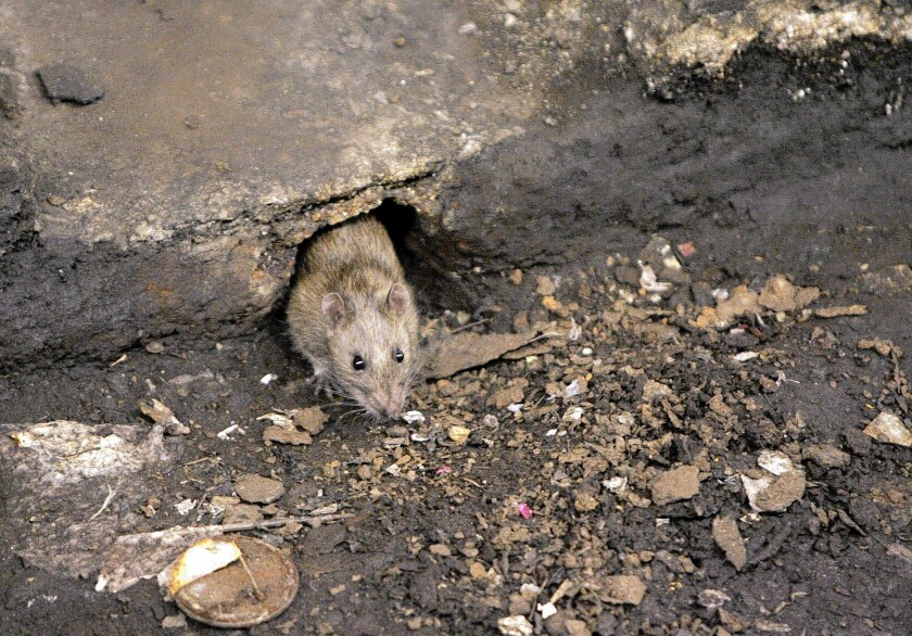 A rat peeks from its hole at a Brooklyn subway stop. By some estimates, rats outnumber the 8.4 million humans in New York City, though it's impossible to know for sure.