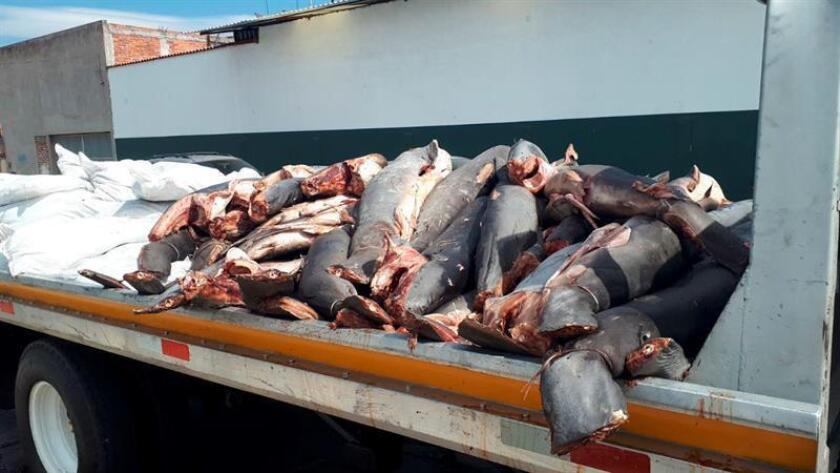Fotografía del día 23 de enero de 2018 que muestra restos de tiburones encontrados en una carretera en el municipio de la Piedad Michoacán (México). Los cadáveres de al menos 86 tiburones de diversos tamaños fueron abandonados en una carretera del suroccidental estado mexicano de Michoacán por presuntos asaltantes de camiones de carga, informó hoy, miércoles 24 de enero de 2018, la Procuraduría General de la República (PGR, fiscalía). EFE/STR MEJOR CALIDAD DISPONIBLE