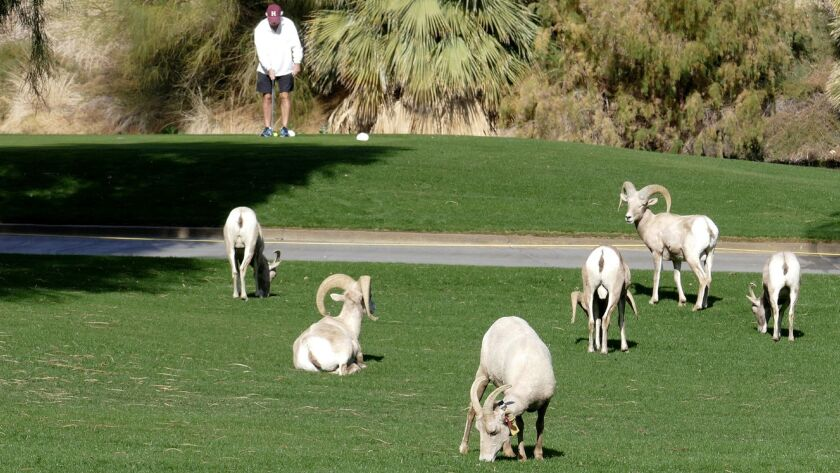 Federally endangered Peninsular bighorn rams, ewes and lambs graze on the greens of the SilverRock golf courses in La Quinta, Calif., with a golfer ready to tee off in the background.