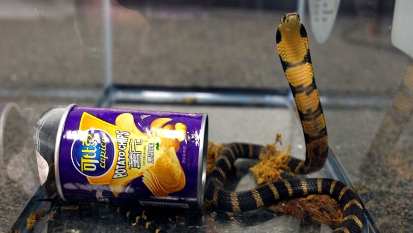 This undated photo provided by U.S. Fish and Wildlife shows a king cobra hidden in a potato chip can