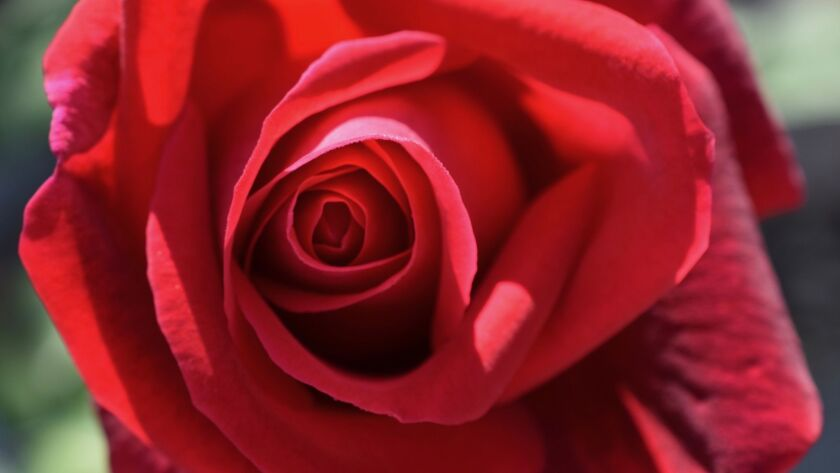 Mister Lincoln is a velvety dark red hybrid tea rose with a very strong damask rose fragrance. CREDI
