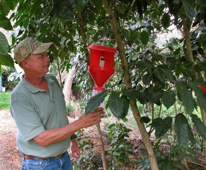 In this photo taken Wednesday Feb. 23, 2011, Kona coffee farmer Tommy Greenwell checks a trap hanging from a coffee tree on his farm in Captain Cook, Hawaii. A beetle smaller than a sesame seed is boring its way into Kona coffee beans and threatening the nation's only coffee growing region's premiere crop. Greenwall said about 25 percent of farms in the Kona region are infected and that farmers have lost roughly 2 percent of the crop this year. (AP Photo/Karin Stanton)