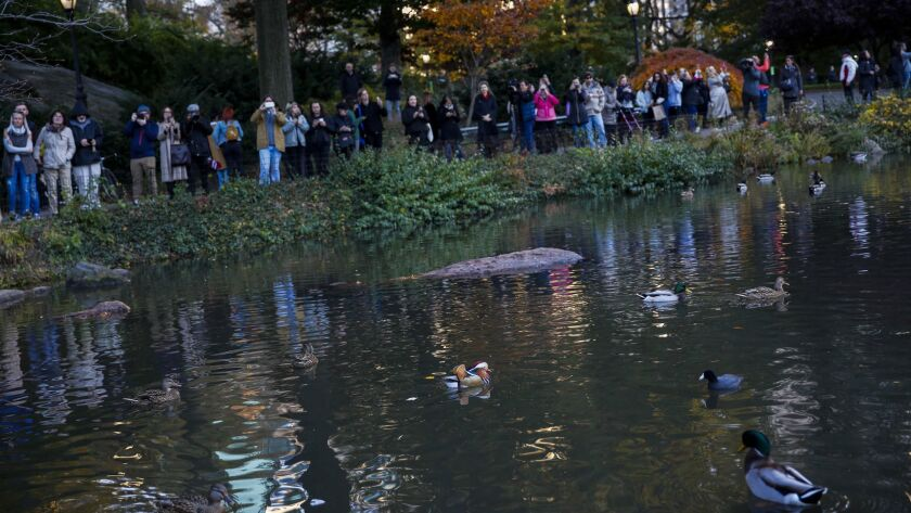 The rare Mandarin duck draws crowds of admirers to Central Park.