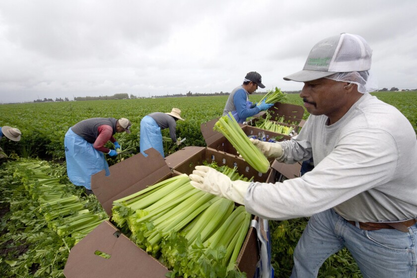 Pack freshly harvested celery in the field at Deardorff Family Farms in Oxnard 30-4-2019? David