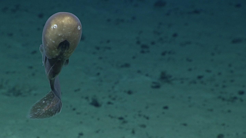 Esta imagen facilitada por la NOAA muestra una anguila de cabeza bulbosa y ojos pequeños durante una exploración en la Fosa de las Marianas, en el Océano Pacífico, cerca de Guan y Saipán. Los investigadores creen que podría ser una nueva especie. (NOAA Office of Ocean Exploration and Research vía AP)