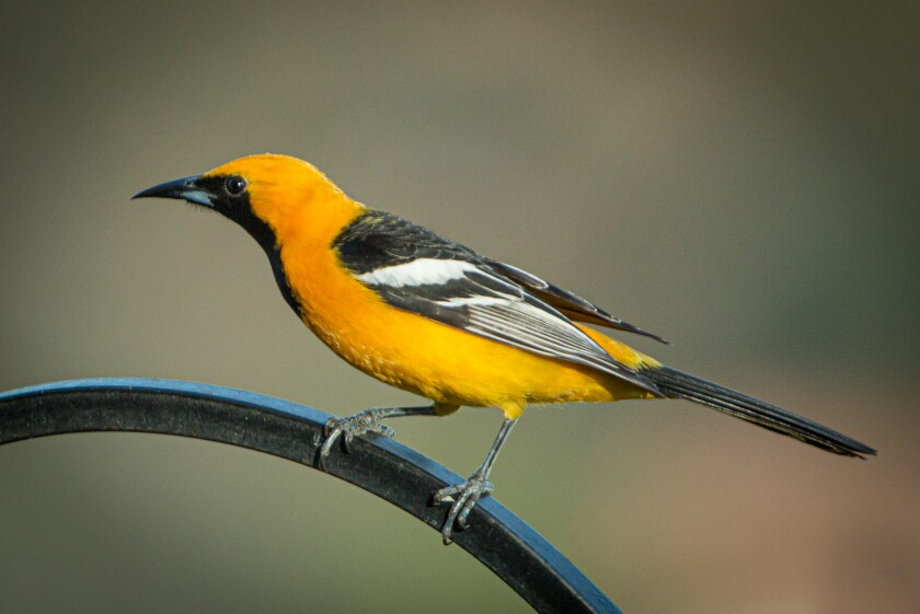 Hooded oriole male.jpg